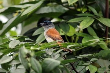 Afrykański ptak - muchodławka
