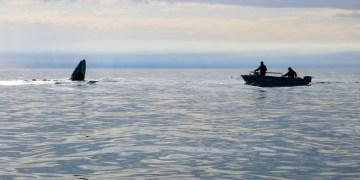 Polowanie na wieloryby na Czukotce w Rosji