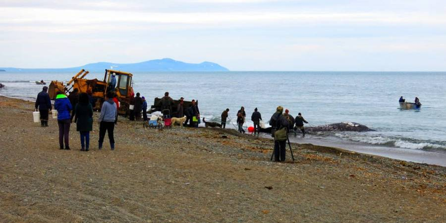Myśliwi wyciągają wieloryba z morza