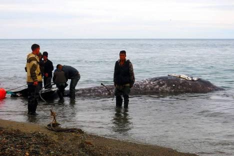 Rosja, Czukotka. Polowanie na wieloryby