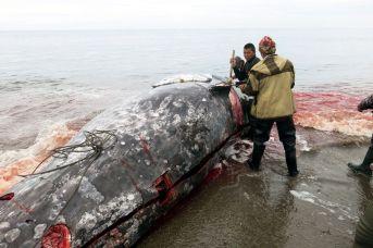 Mysliwi zdejmują skórę z wieloryba