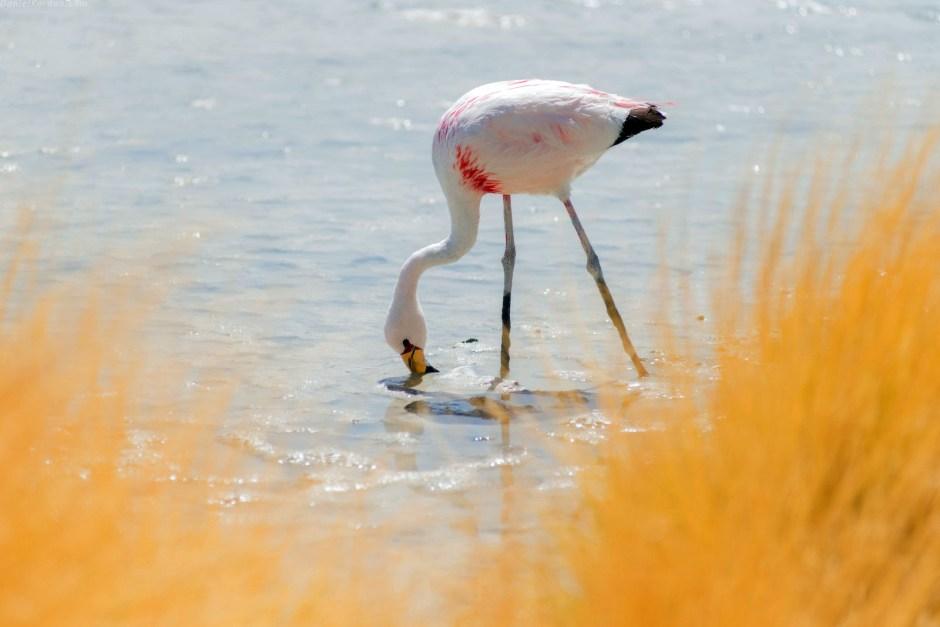 Boliwia, różowy flaming, Salar de Uyuni