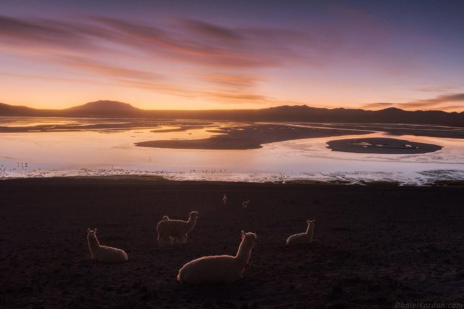 Zwierzęta Boliwii, lamy na Salarze