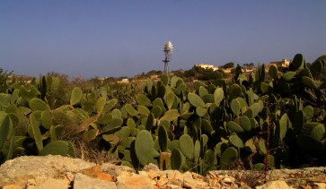 Zdjęcia z podróży na Maltę - opuncja