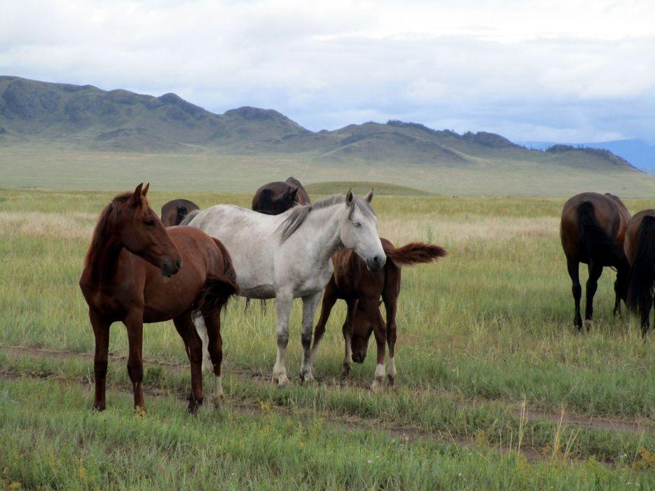 Tuwa, Rosja. Dzikie konie, step