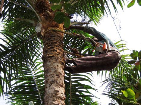 Alkohol w Afryce, produkcja wina palmowego w Senegalu