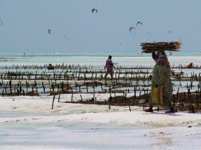 Zanzibar, Paje na wyspie Unguja, zbieranie wodorostów
