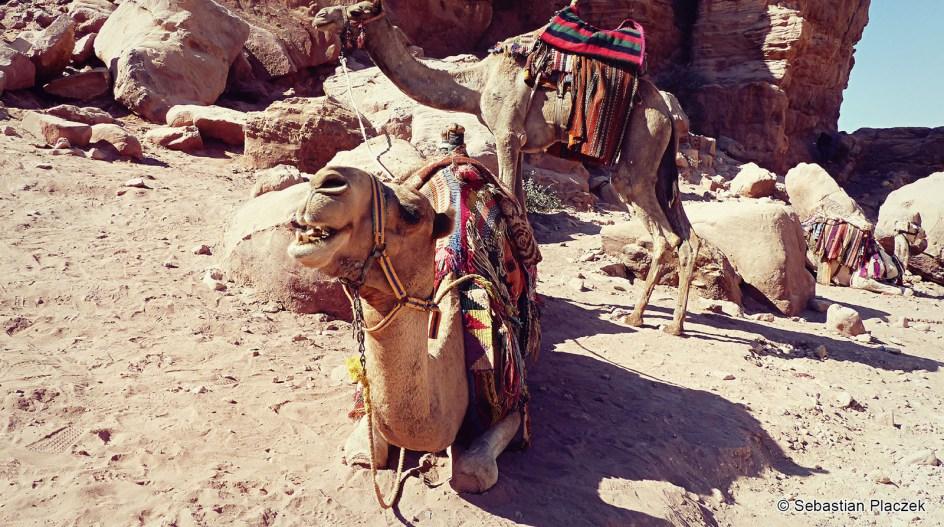 Podróż do Jordanii, wielbłądy w Petrze czekające na turystów