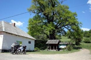 Ukraińskie Zakarpacie, dąb Dziadek, tysiącletnie drzewo