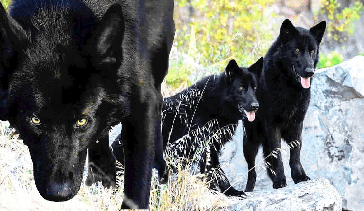➤ Calupoh: El perro lobo mexicano