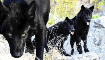 Calupoh: El perro lobo mexicano