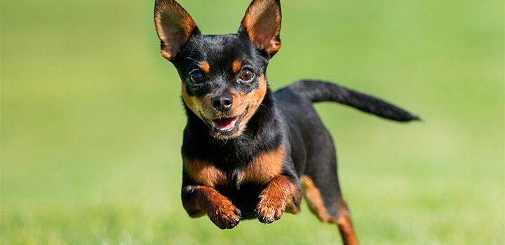Cute Chow Chow Wallpapers Raza De Perros Chihuahua