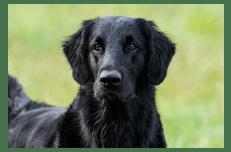 Flat-coated negro mirando atentamente