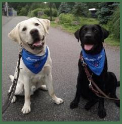 Labrador amarillo y labrador negro, ambos con bandana azul y actitud amigable