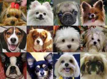 razas-de-perros-miniaturas