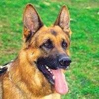 Las 10 Mejores Razas de Perros Guardianes