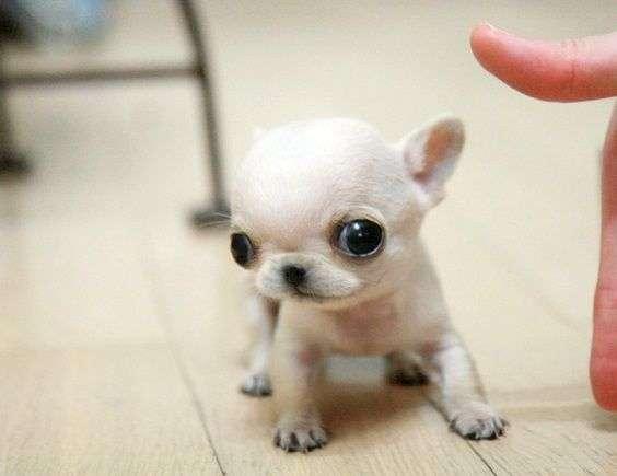 perro-chihuahua-cabeza-de-manzana