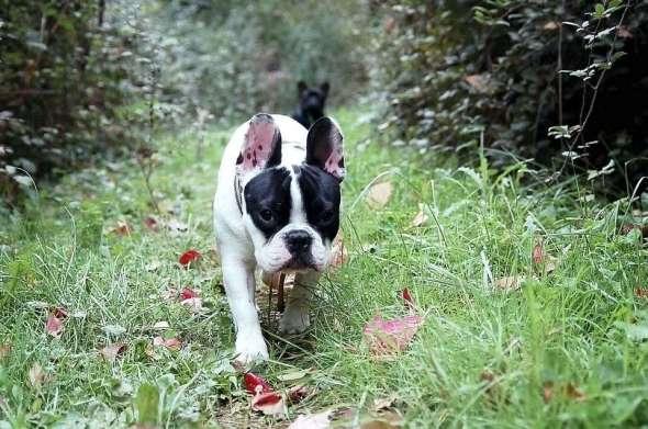 Cómo Trabajar como Paseador de Perros
