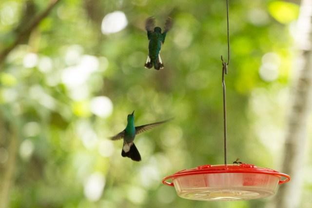 Colibríes en el Panama Rainforest Discovery Center