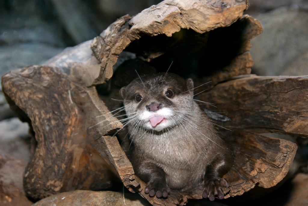 Cute Otter Wallpaper Donnola Quot Persbaglio Quot