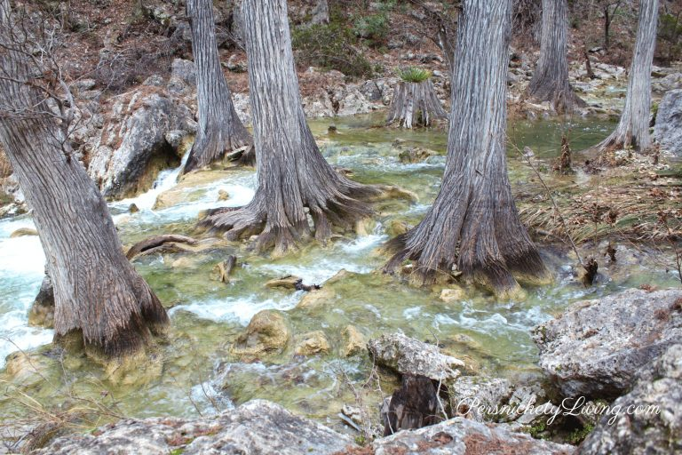 Bald Cypress Trees Hamilton Creek
