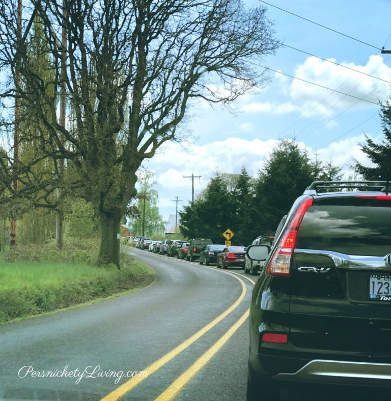 Traffic at Portland Tulip Festival