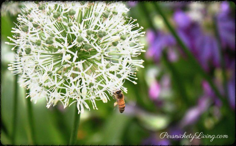 Schreiners Iris Gardens Bee collecting pollen