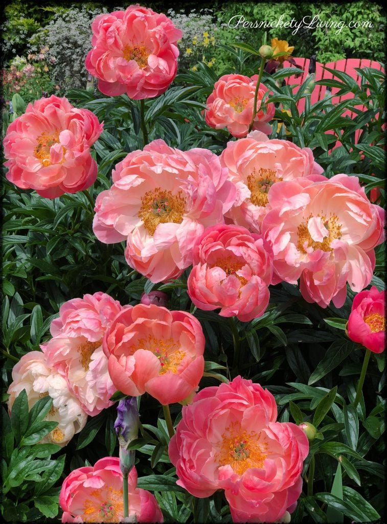 Schreiners Iris Gardens Beautiful Peonies
