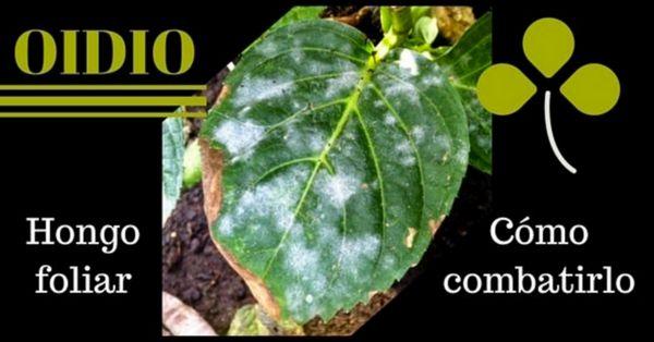 Oidio, tratamientos para combatirlo en tus plantas