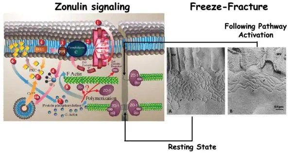 Figure 3 Proposed Zonulin Intracellular Signaling Leading to the Opening of the Intestinal TJs Image 2