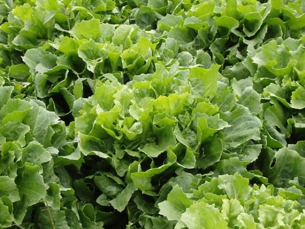Salade met koolrabi en andijvie