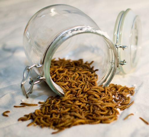 Larvas de Tenebrio Molitor