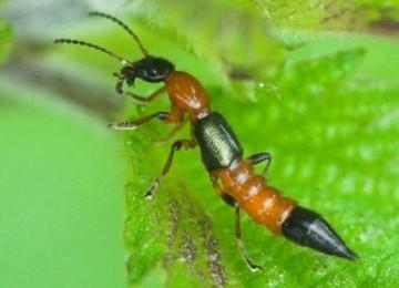serangga-tomcat