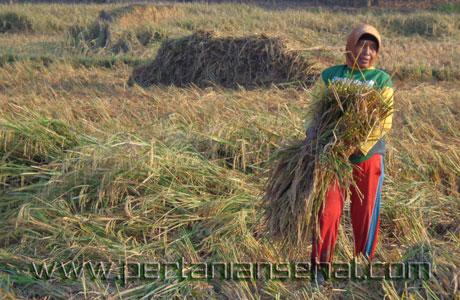 Petani Subang sedang panen