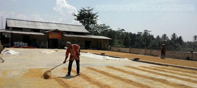 Penjemuran padi di lumbung desa Cianjur