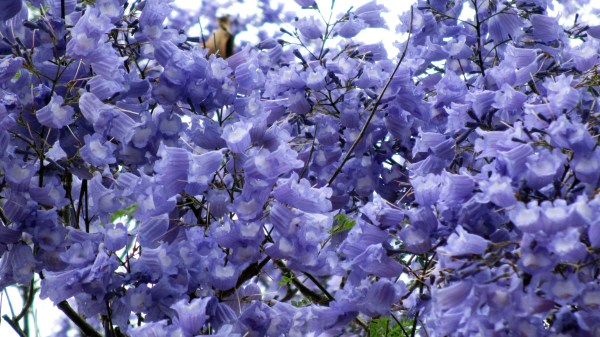 20 Blue Jacaranda Tree Clip Art Pictures And Ideas On Meta Networks