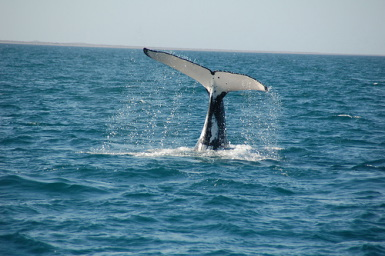 Whales_in_Western_Australia