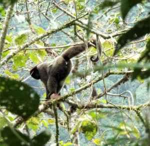 Affe Manu-Nationalpark