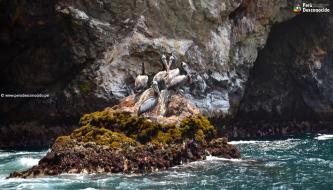 Pelícanos al rededor de las loberas en Huarmey