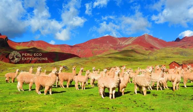 Ausangate Alpacas - Peru Eco Expeditions (2)