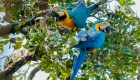 blue-and-yellow-macaws