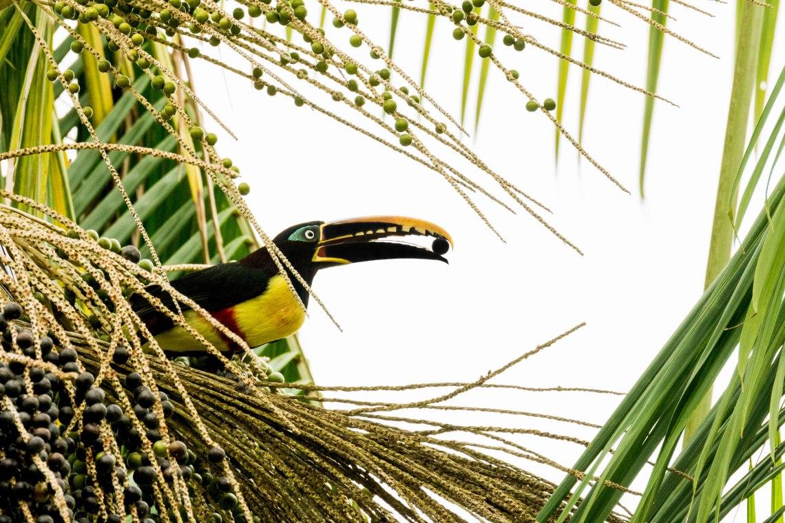 chesnut-eared-aracari