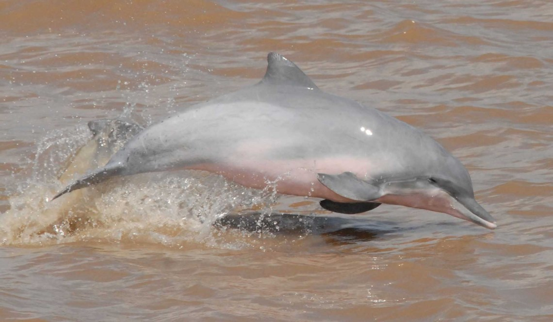 pink river dolphin jumping out of the water