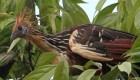 hoatzin-by-jack-rogers