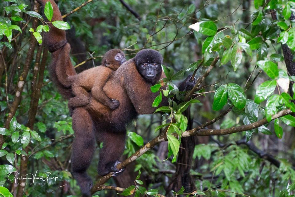 Woolly Monkey (lagothrix poeppigii) Dorilla and baby. Photo courtesy of Amazonia guest Gretchen Geest.