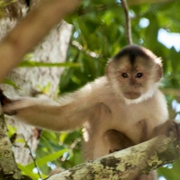 White-fronted-capuchin-768x439