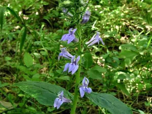 200508219193 Great Blue Lobelia Lobelia siphilitica