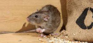 شركة مكافحة فئران بعنيزة