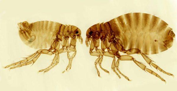 Flea Control Treatment