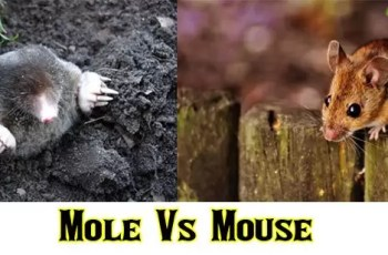Mole Vs Mouse | Differences You Should Know